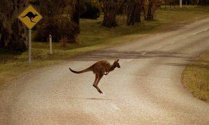 Kangaroo Suicide